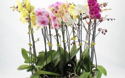 Demonai ir orchidėjos